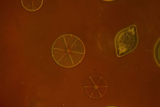 Diatoms, Anoptral phase